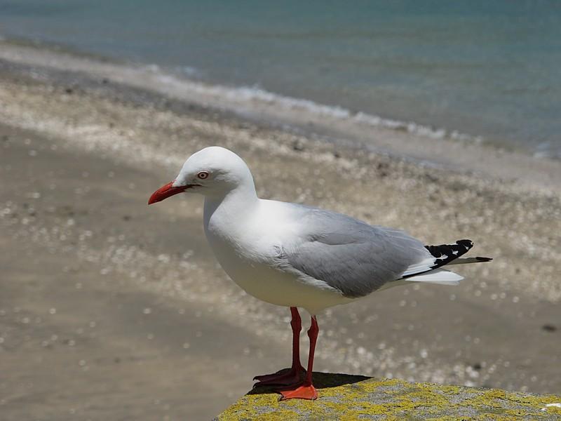 dec 09 0442 seagull