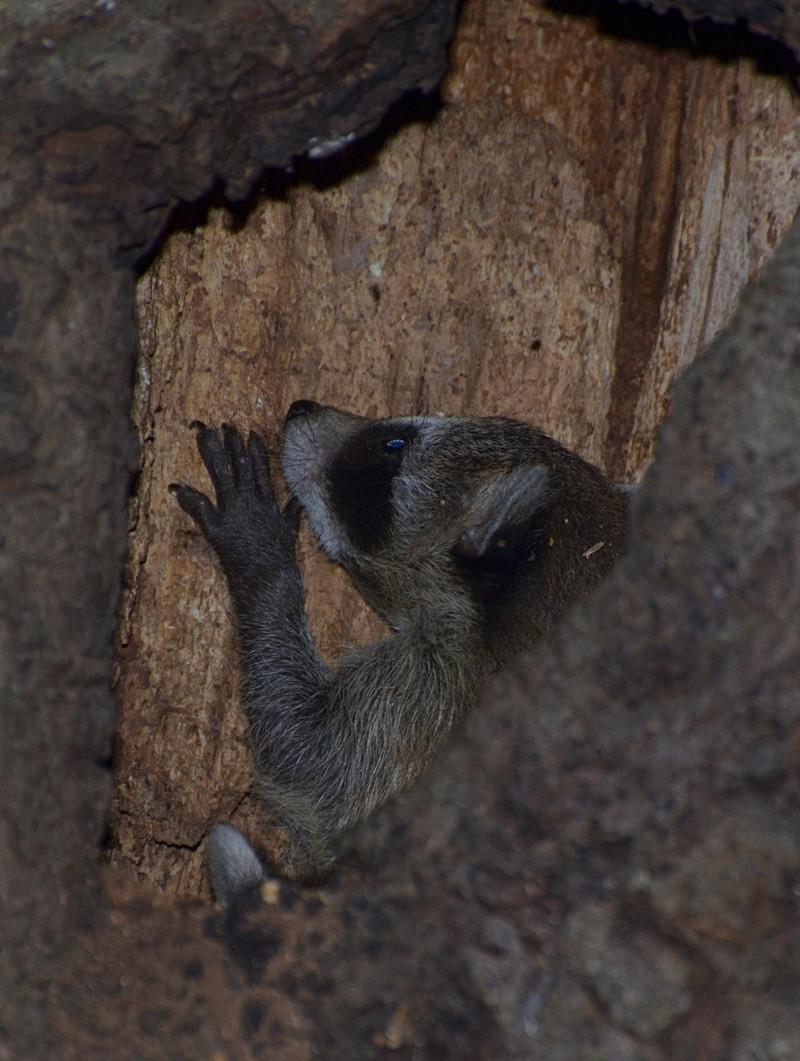 dec 09 1145 baby raccoon