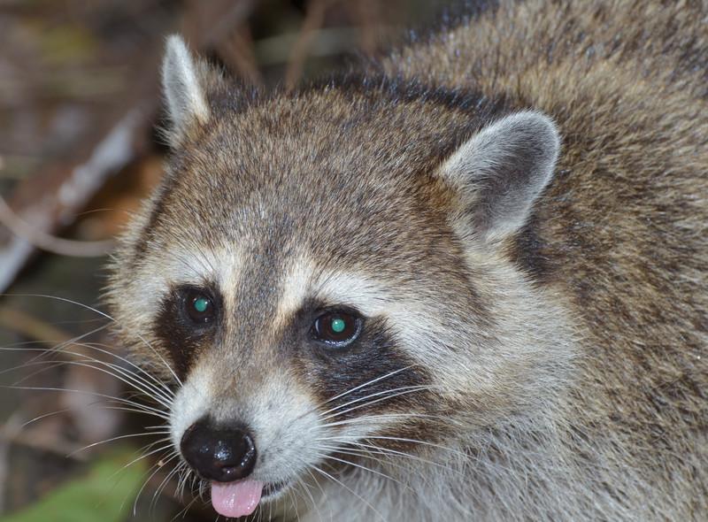 dec 09 1381 raccoon tongue