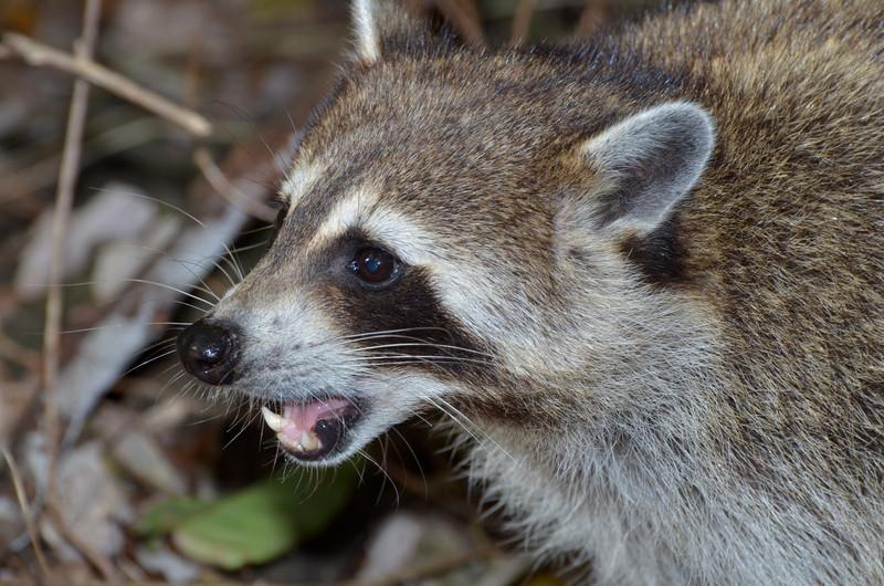 dec 09 1390 raccoon teeth