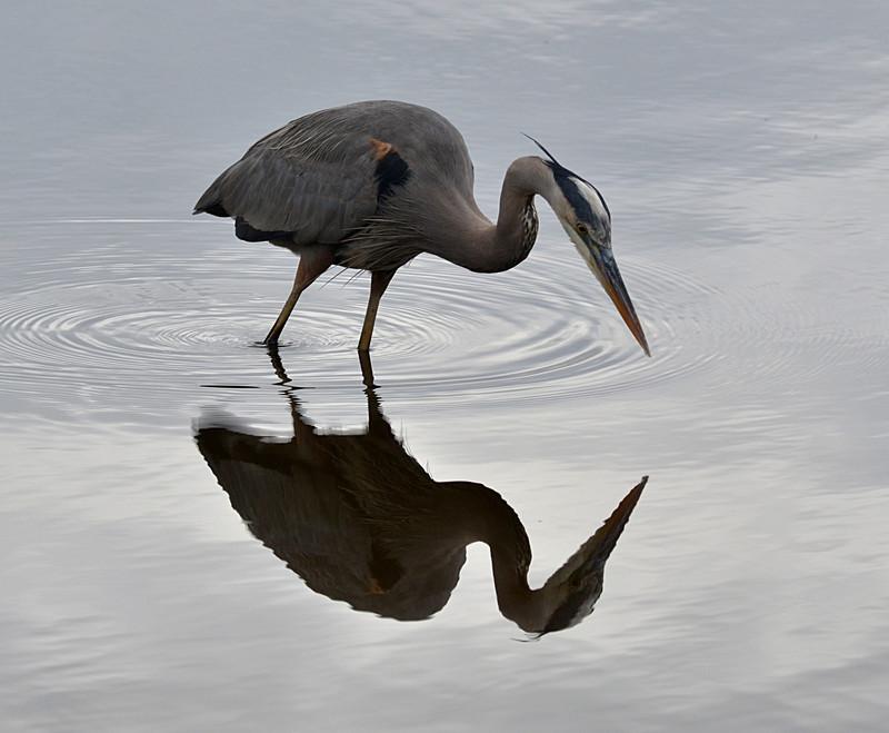 dec 09 1456 blue heron hunting