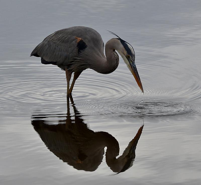 dec 09 1458 blue heron dripping