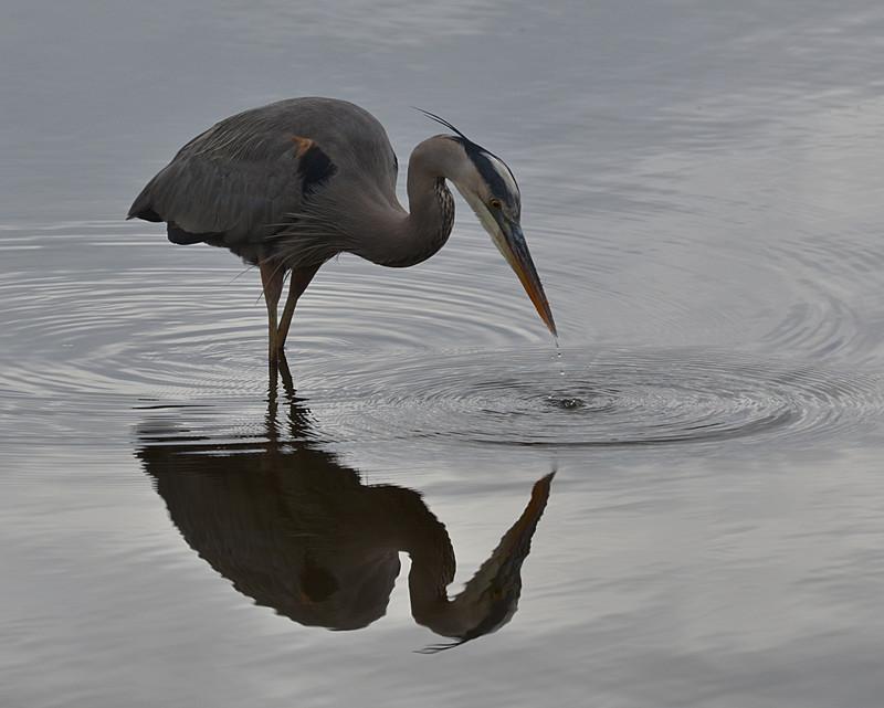 dec 09 1460 blue heron dripping