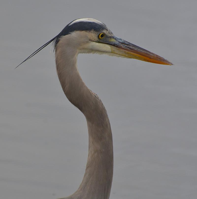 dec 09 1587 blue heron face
