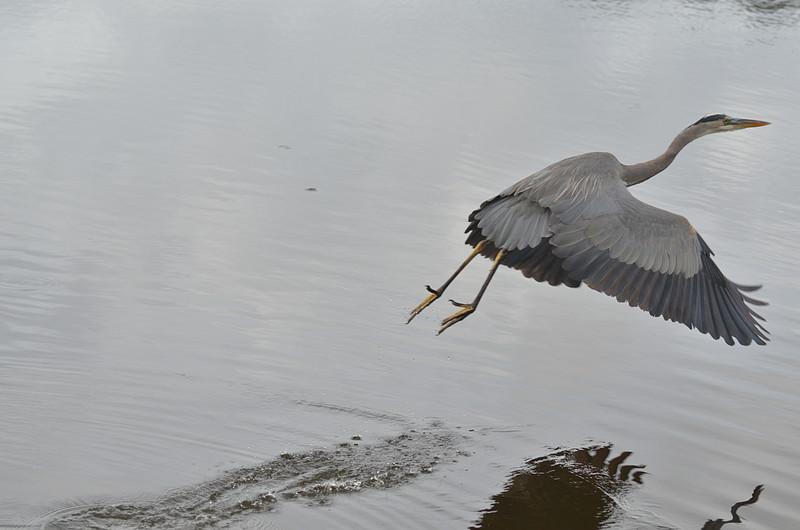 dec 09 1624 blue heron takeoff