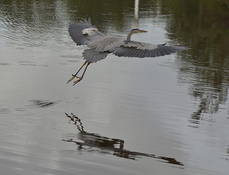 dec 09 1628 blue heron flying