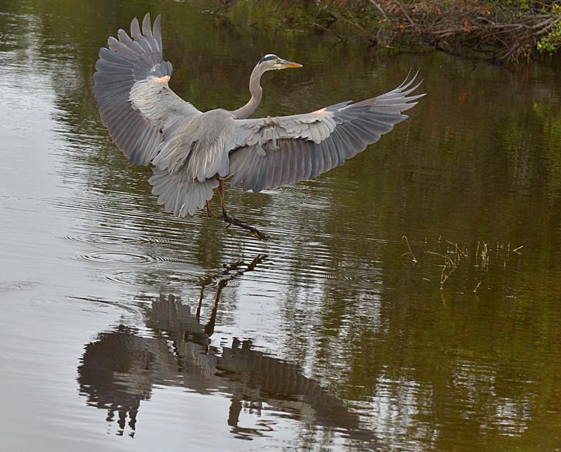 dec 09 1630 blue heron landing