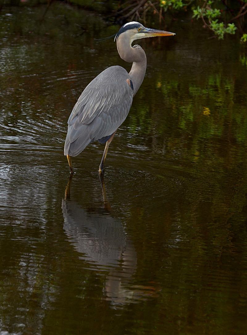 dec 09 1665 blue heron reflection