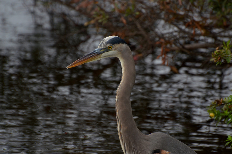 dec 09 1697 blue heron face