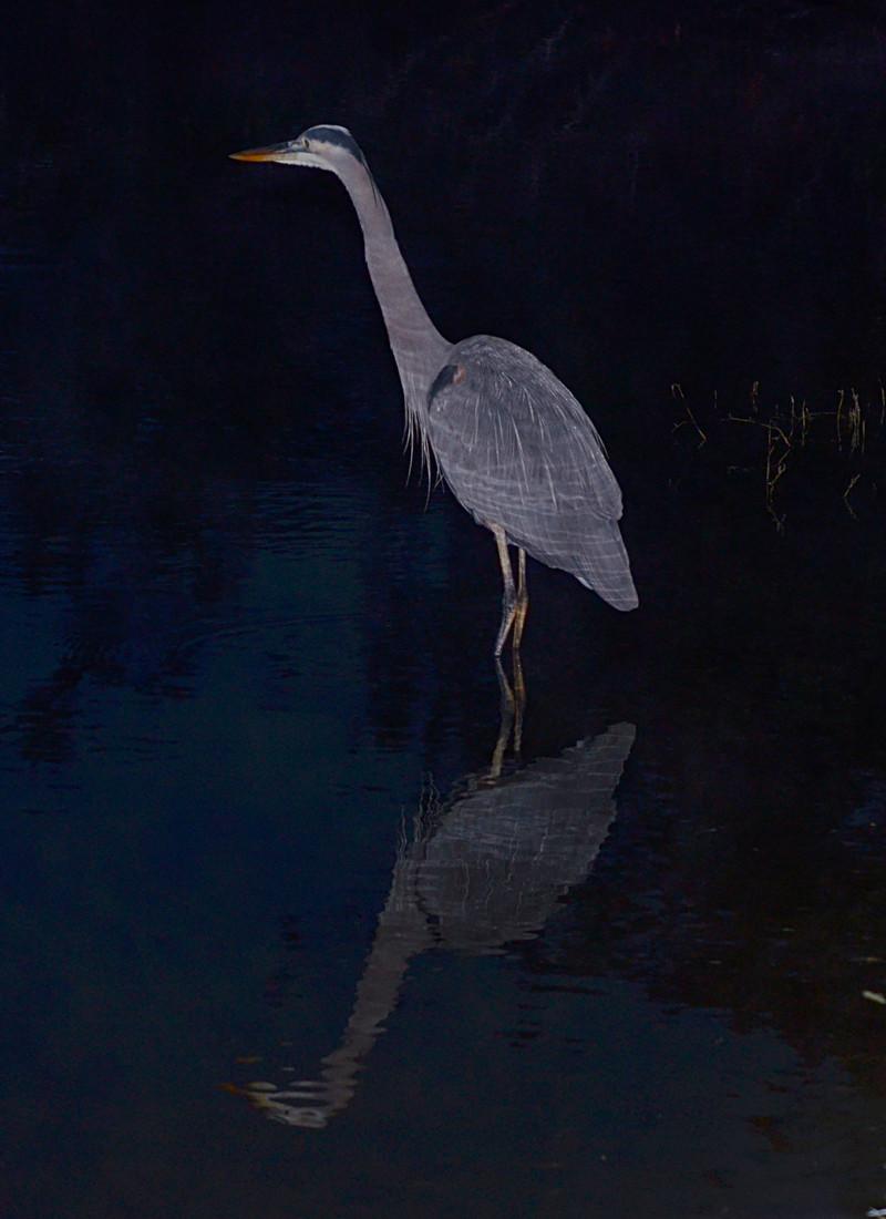 dec 11 1929 morning blue heron