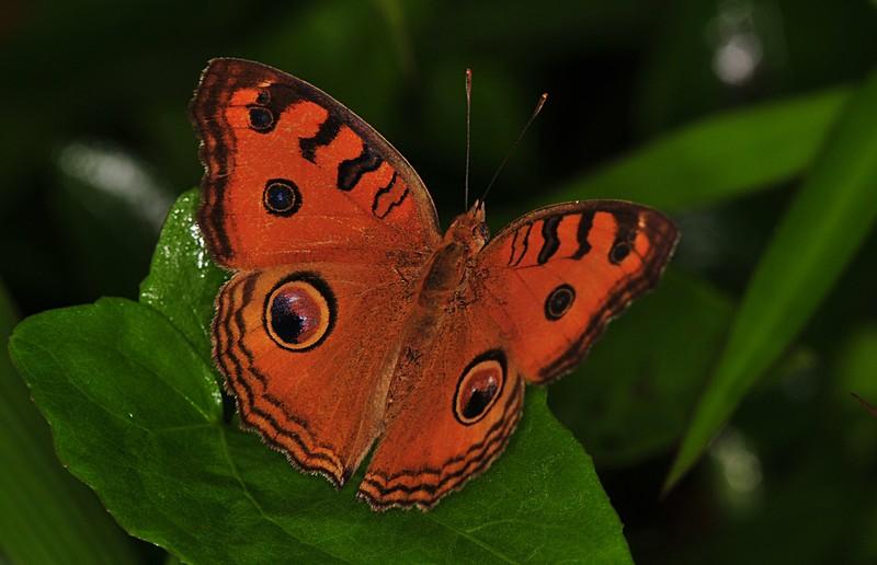 dec 11 8151 butterfly eyes
