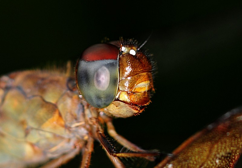 dec 12 8275 dfly compound eye