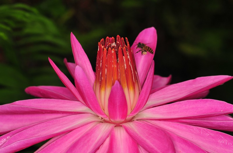 dec 12 8303 bee pink lotus