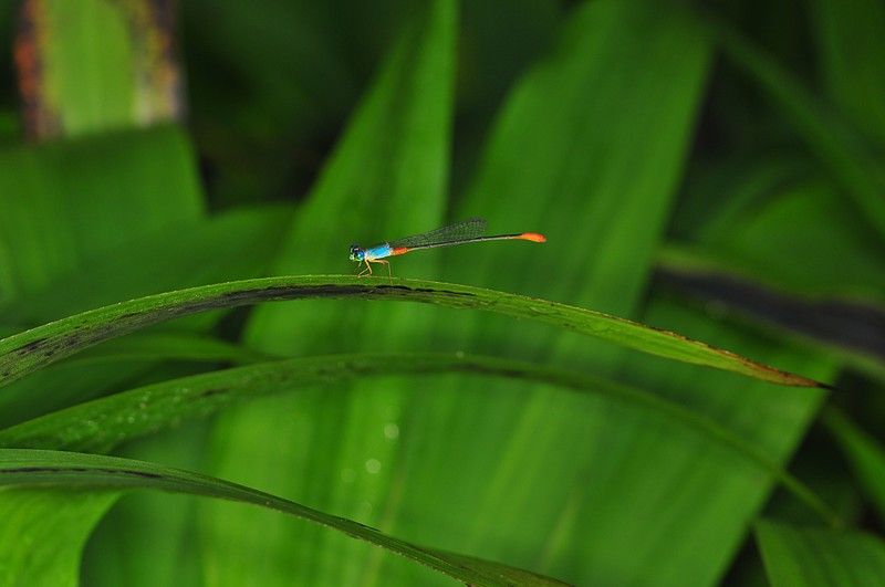 dec 12 8414 damselfly