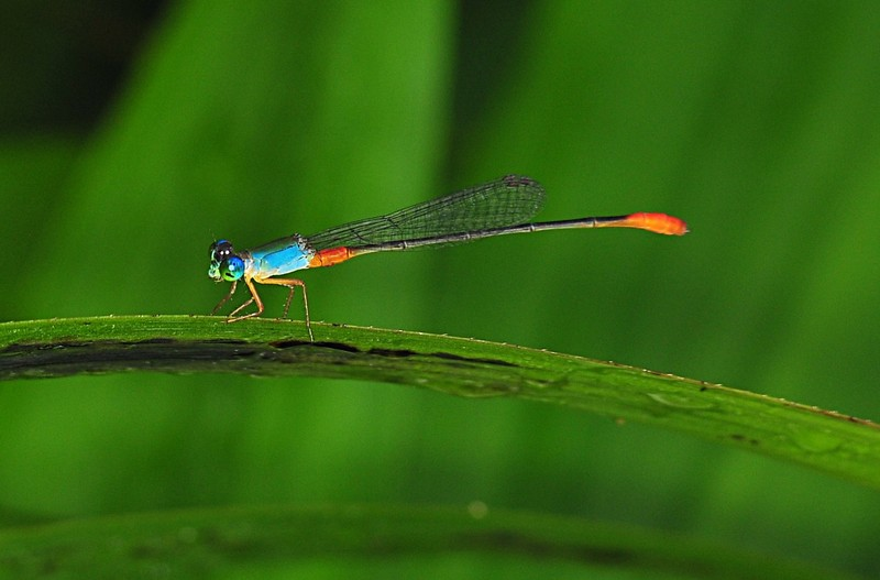dec 12 8414 damselfly close