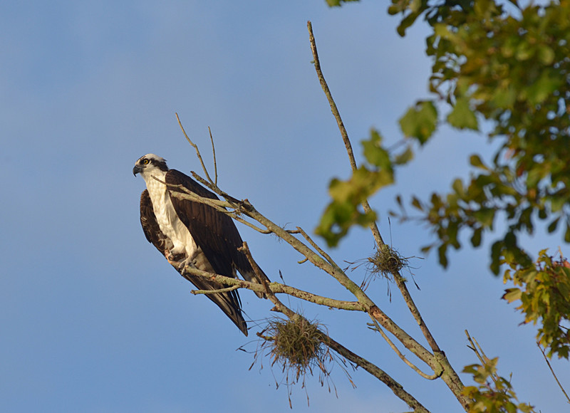 dec 13 2245 osprey looking