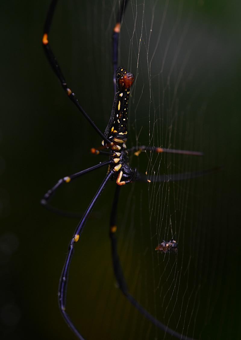dec 15 5101 nephila web