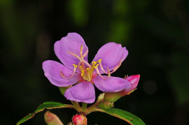 dec 18 8444 melastomataceae