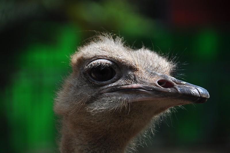 dec 21 2441 ostrich face