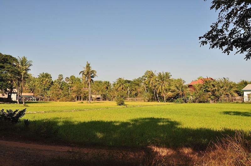 dec 23 2579 rice field