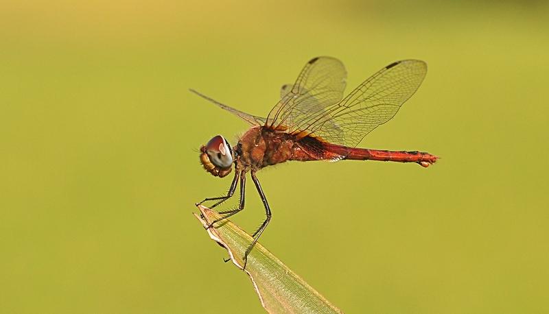 dec 23 2586 dragonfly