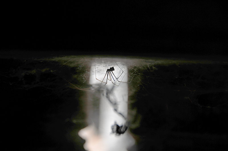 dec 23 4084 temple daddy longlegs