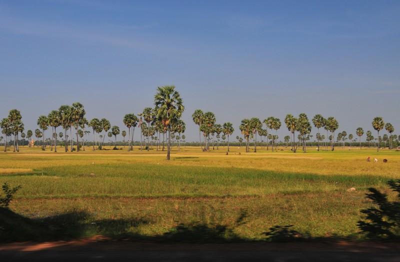 dec 23 8996 rice fields