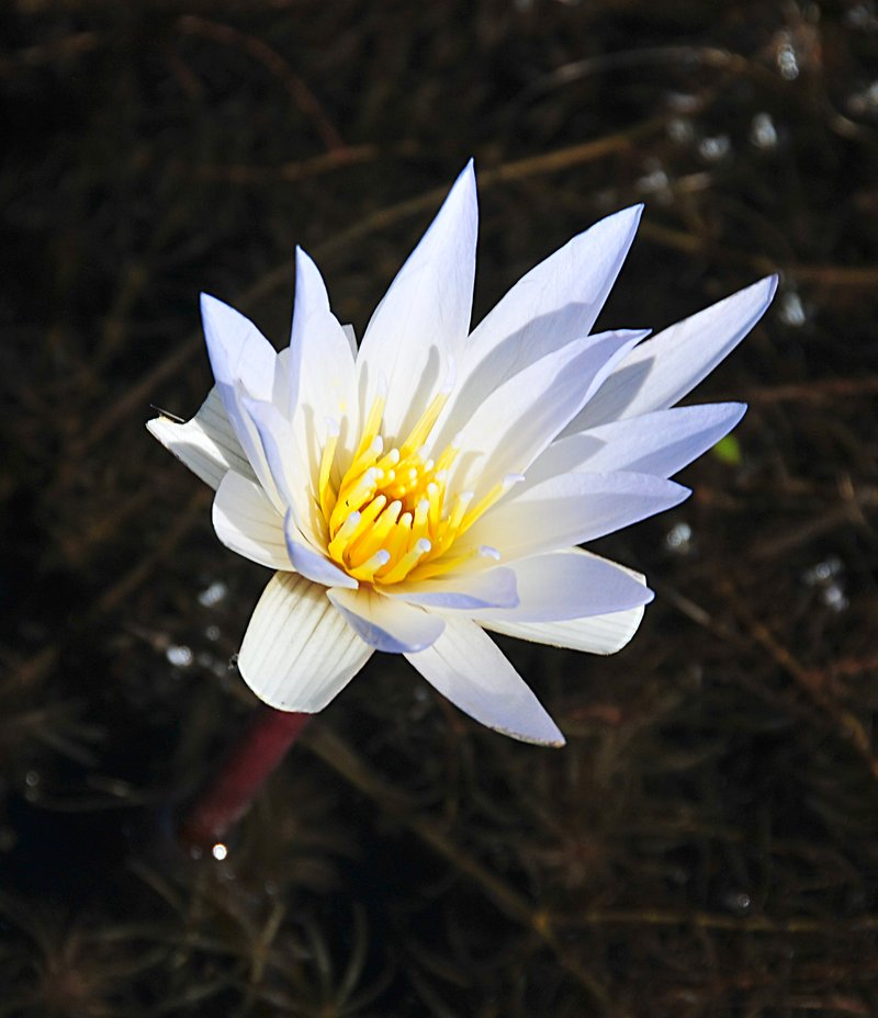 dec 24 4468 white lotus