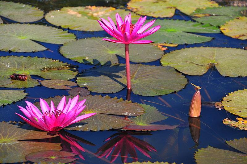 dec 24 4471 dfly lotus