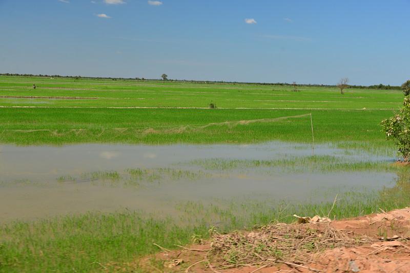 dec 24 6570 rice fields