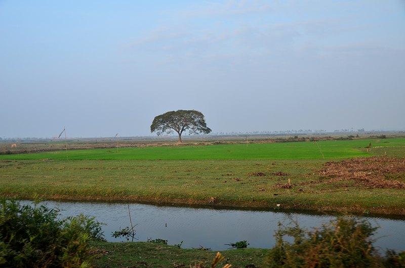 dec 25 9106 rice tree