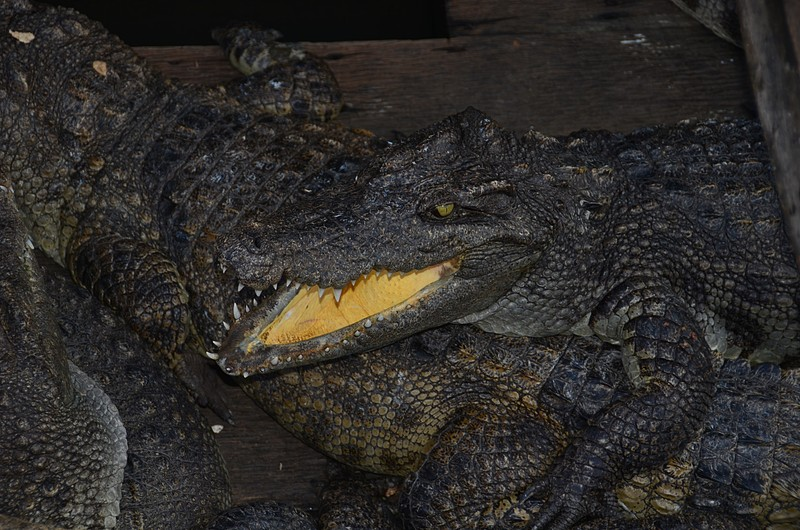 dec 25 9280 crocodile teeth