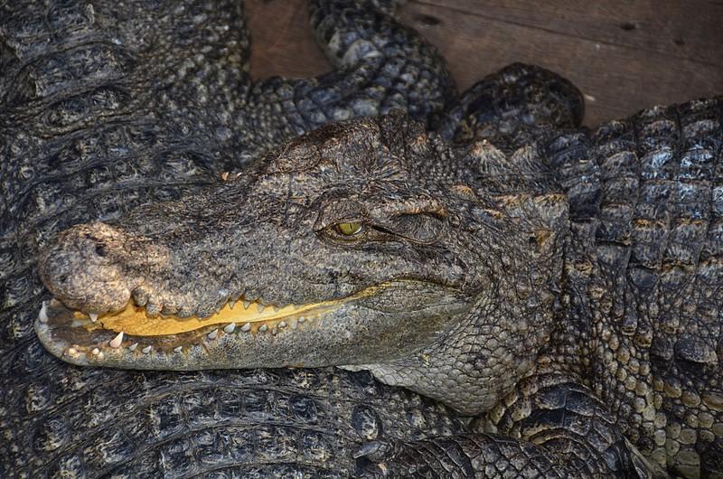 dec 25 9283 crocodile