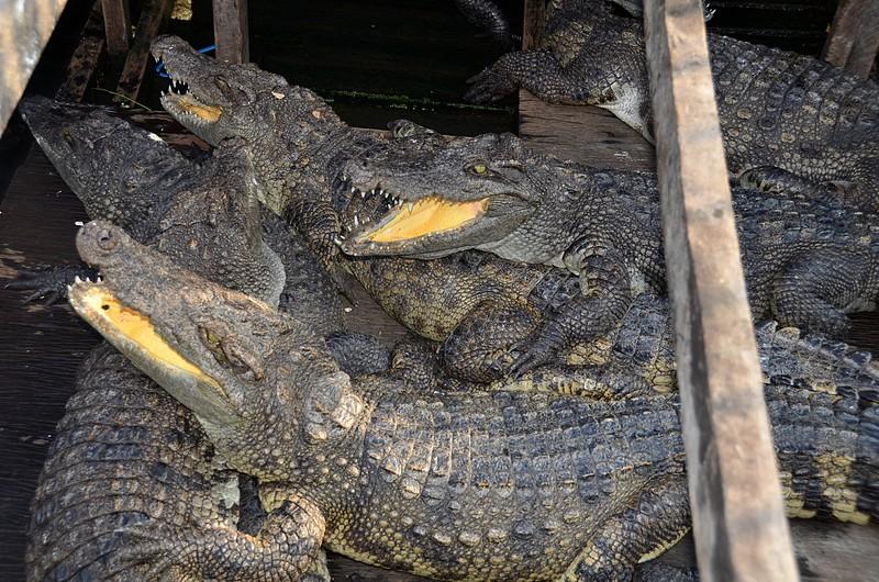 dec 25 9287 crocodile