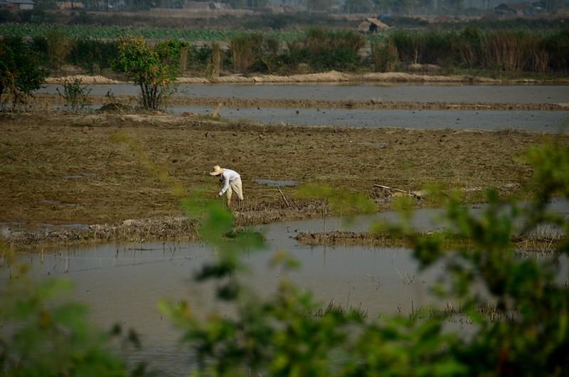 dec 25 9567 rice worker