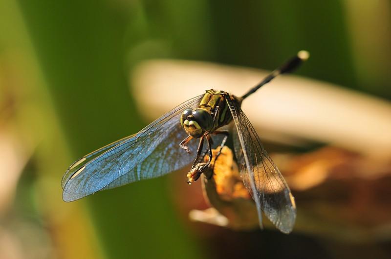 dec 25 9594 dragonfly