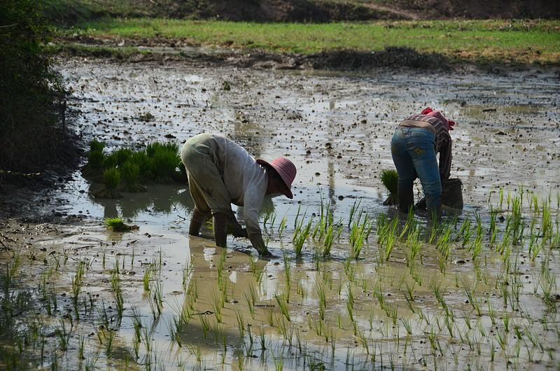 dec 25 9640 rice planting