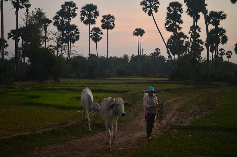 dec 26 0461 cows