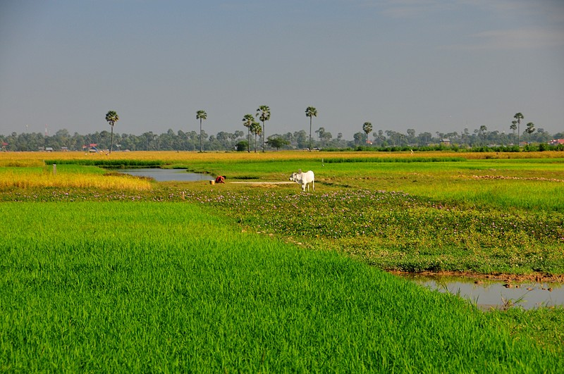 dec 27 0816 rice fields