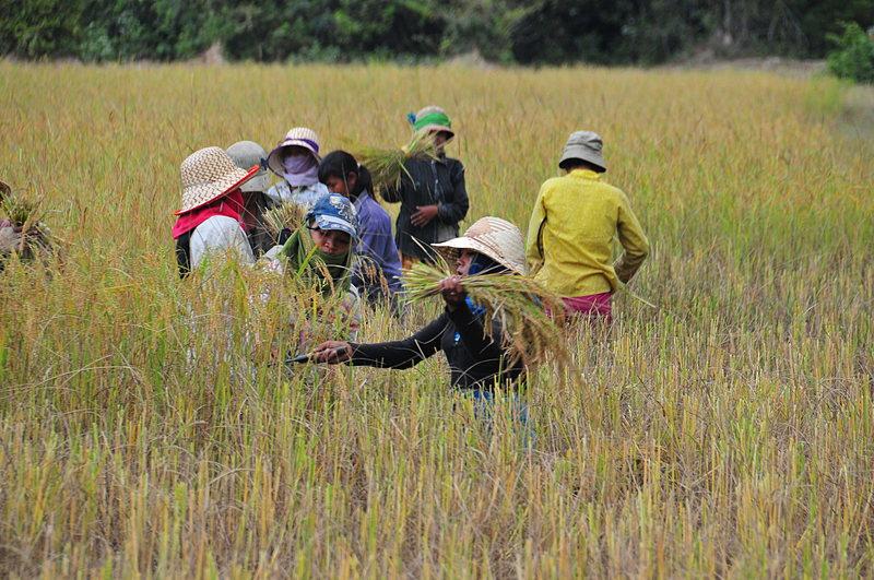 dec_27_5846_harvesting_rice.jpg