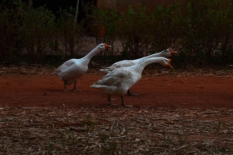dec 28 1722 honking geese