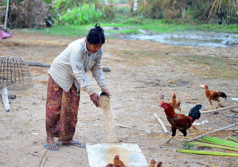dec 28 7950 feeding chickens