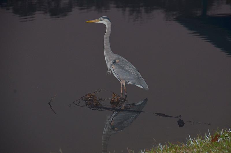 feb 02 5284 blue heron reflections