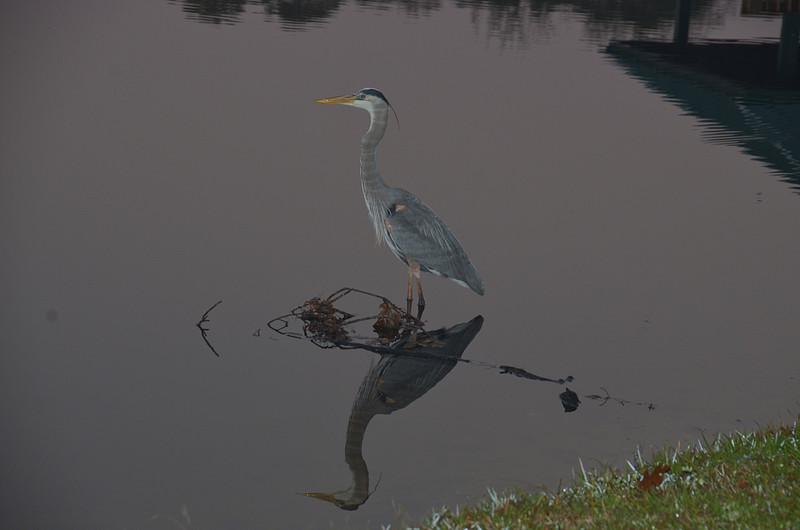 feb 02 5286 blue heron morning