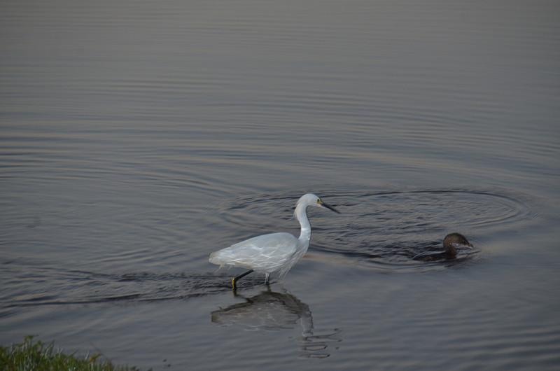 feb 02 5298 white egret duck