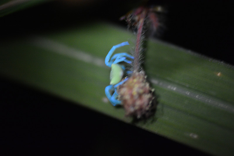 feb 03 0816 thomisus fluorescence
