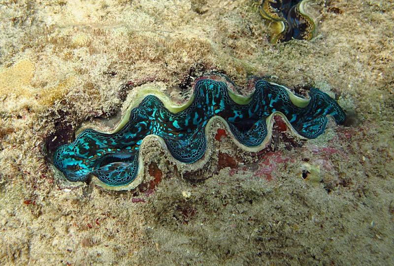 feb 04 1924 blue giant clam