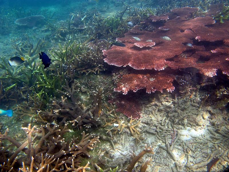 feb 04 1933 acropora fish