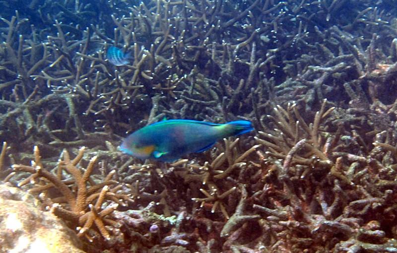 feb 04 1953 parrotfish
