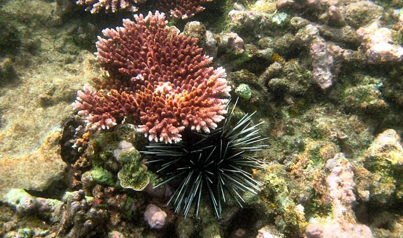 feb 04 2029 acropora urchin